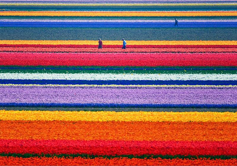 Tulpenfelder in den Niederlanden - Bild: Allard Schager