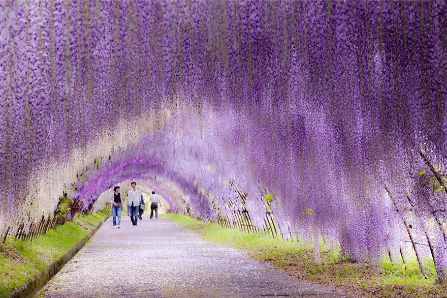 Wisteria Flower Tunnel, Japan - Bild: imgur.com, mindphoto.blog.fc2.com