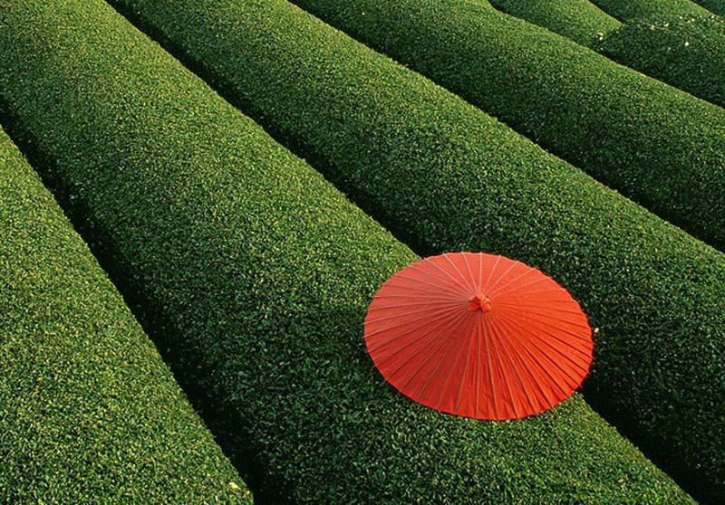 Teefelder, China - Bild: Unbekannt