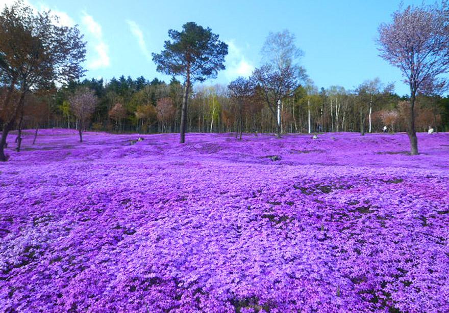 Shibazakura Flowers, Japan - Bild: KIMI Tourguide