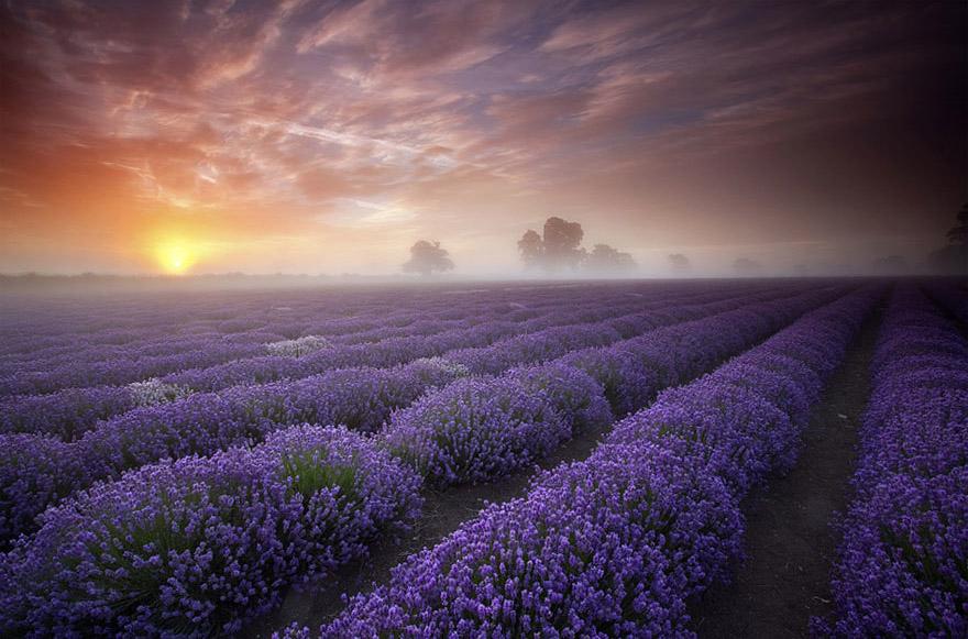 Lavendel-Felder, England - Bild: Antony Spencer