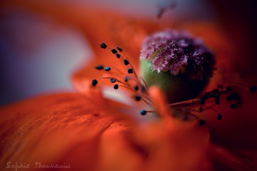 red poppy by sophie thouvenin