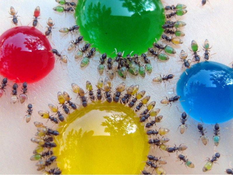 Farbige Ameisen