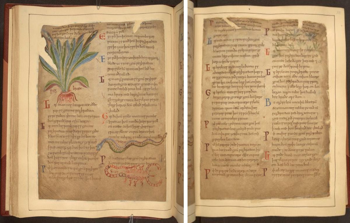 Cotton MS Vitellius C III Pflanzenbuch im Britischen Museum