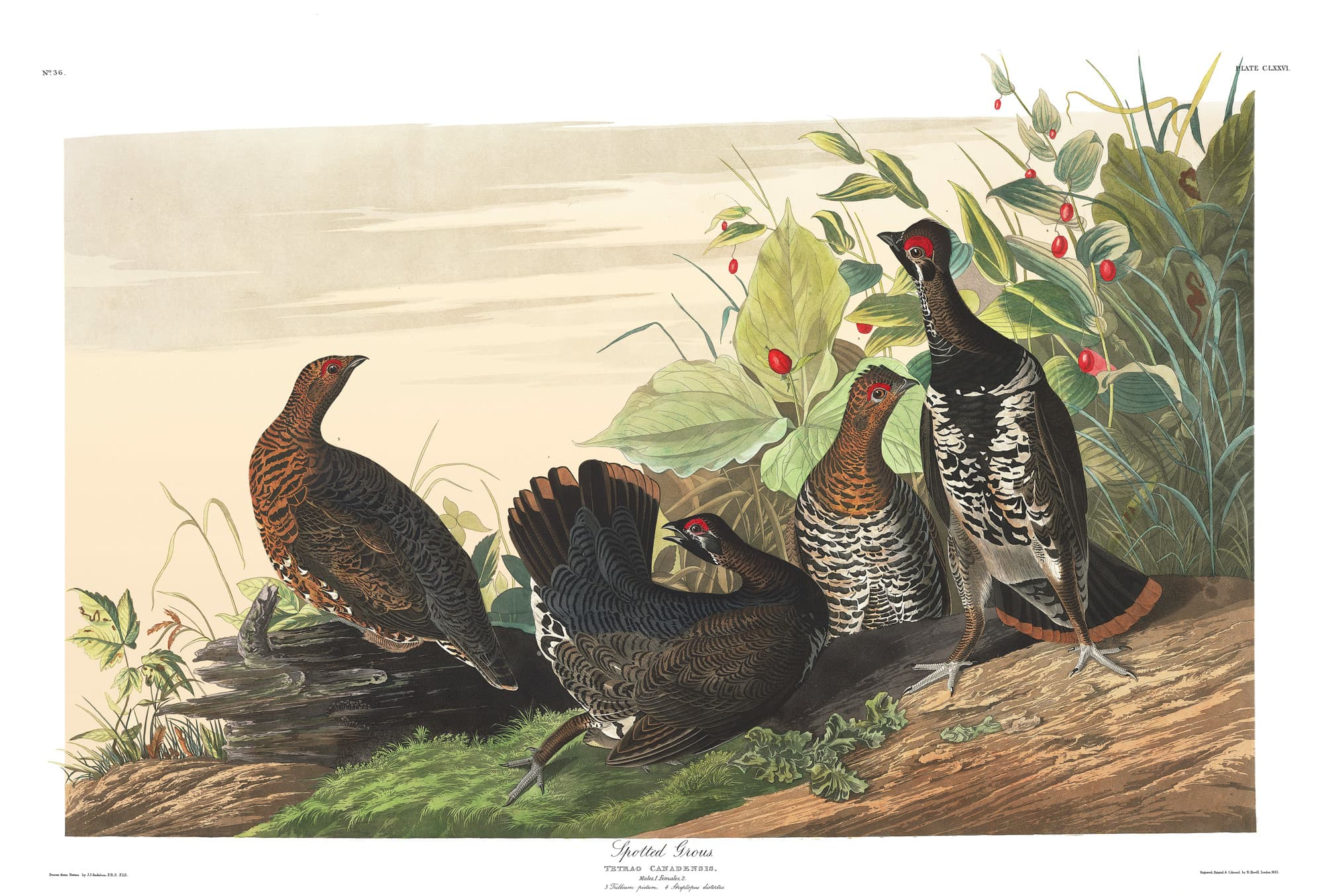 John James Audubon - Amerikanische Vögel - Kostenlose Illustrationen